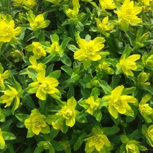 Молочай многоцветковый - радость начала лета