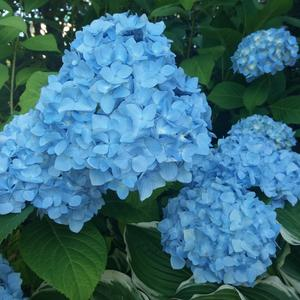 Голубые облака гортензии