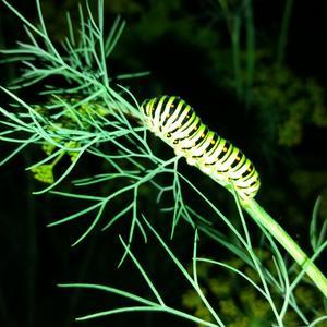 """""""Хозяйка спать, а я опять за укроп примусь..."""" - подумала гусеница бабочки махаон"""
