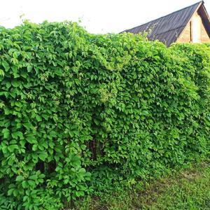Девичий виноград - изгородь-хамелеон