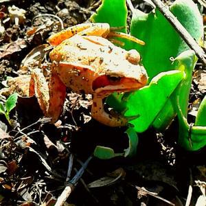 Дачное чудо - Оранжевая жаба