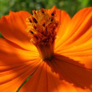Оранжево цветёт