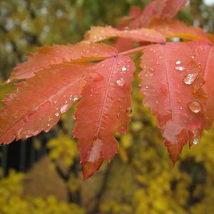 Осенние слёзки