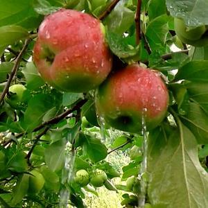Яблоки под дождём