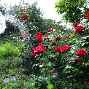 Вот и розы порадуются...