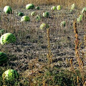 И на Южном Урале такие ягоды растут