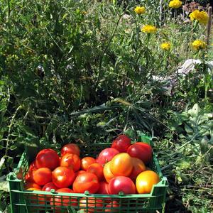 Первые томатики