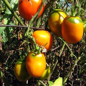 Сибирские томатики