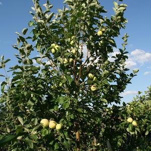 Опять ветер, посбивает последние яблоки