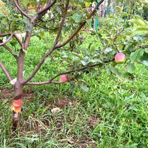 Спасённая яблоня после зимнего нашествия зайцев восстановилась...