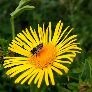 Пчёлка знает силу девясила