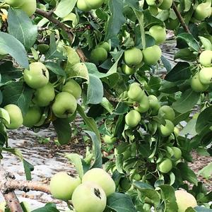 Яблочки поспевают