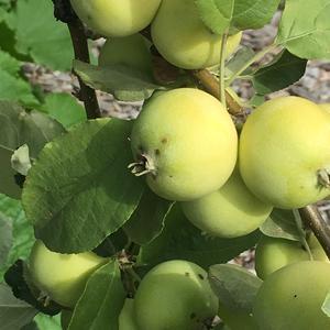Яблочки вкусные