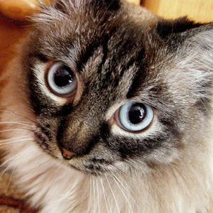 Кот породы невский маскарадный