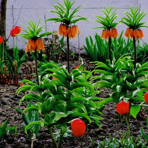 Императорские рябчики и красные тюльпаны