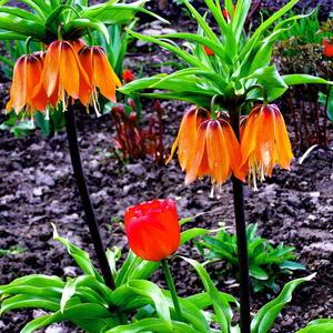 Рябчик императорский с тюльпанами