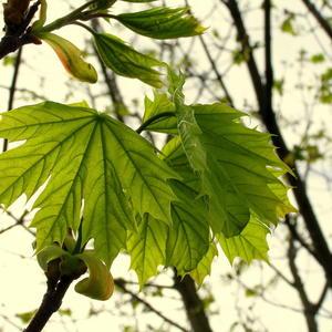 Молодой кленовый лист