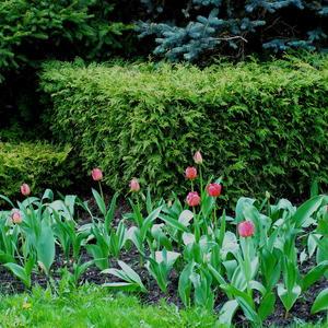 Парковые тюльпаны
