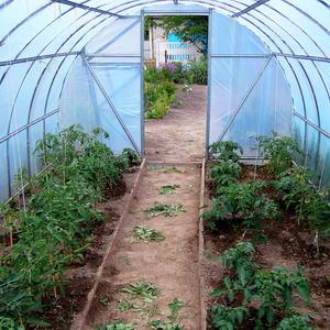Дачная теплица для томатов