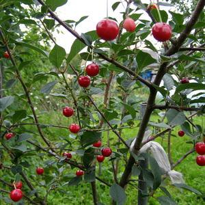 Поспели вишни в саду 1