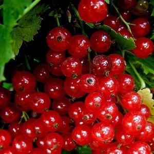 Красную смородину называют поречка, то есть растущая по берегам рек
