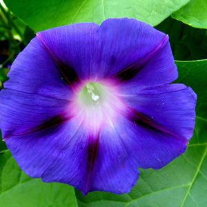Синий цвет ипомеи