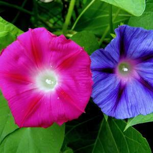Цветы ипомеи 1