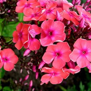 Розовые флоксы 4
