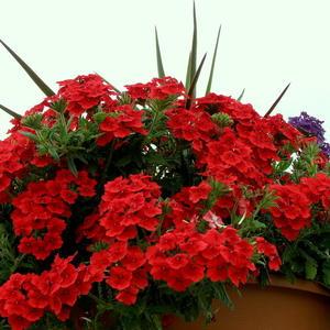 Яркий цвет пеларгонии