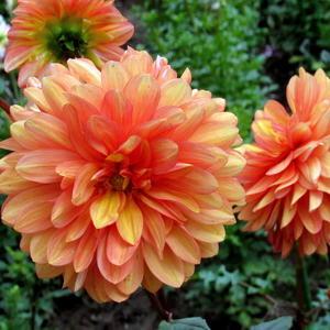 Георгины в дачном цветнике