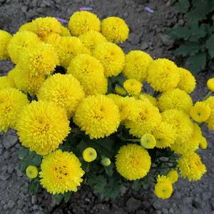 Легкий холод зимы и дыхание лета совмещает в себе этот желтый цветок