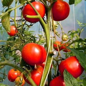 Томатный урожай