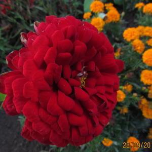 Красная цинния в осеннем цветнике