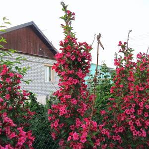 Живая изгородь на даче из кустов вейгелы