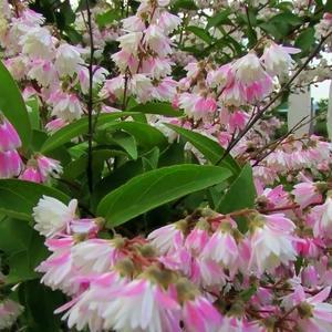 В конце июня на даче расцветают кусты дейции