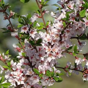 Ветка войлочной вишни