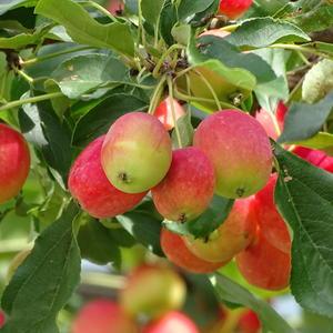 Над головой моей яблоки висят...