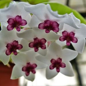 Цветочки хойи