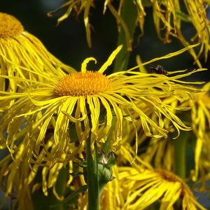 Девясил цветет