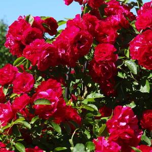 Плетистая роза Фламентанц
