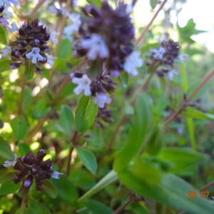 Первый урожай пряных трав: тимьян ползучий