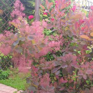 Цветет скумпия