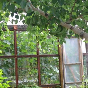 А так у нас на Камчатке растут бананы!