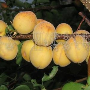 Саженцы, черенки для прививки Абрикос, сорт Чемальский белый