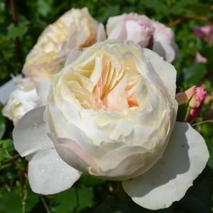 Роза флорибунда Khela (Кхела)