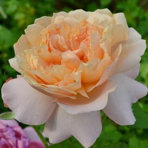 Роза чайно-гибридная Английская Д. Остина Edith (Эдит)