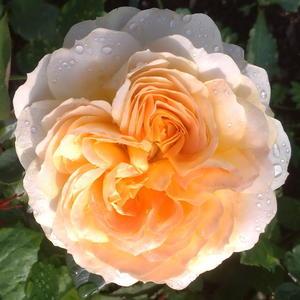 Роза пионовидная Caramel Antike (Карамель Антик)