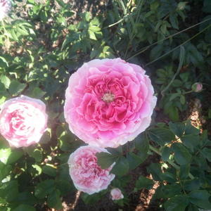 Роза Английская Д. Остина Pink Kate (Пинк Кейт)