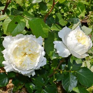 Роза Чайно-гибридная Д. Остина Patience (Пейшн)