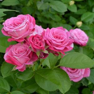 Роза Флорибунда Bombastic Lady (Бомбастик Леди)